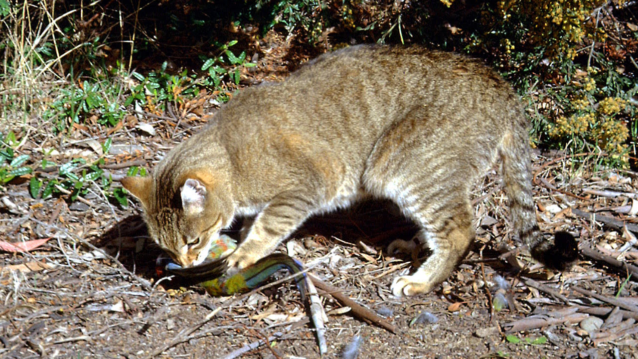 Australija: Pobiti 2 miliona macaka, 10 dolara svakome po macki! 5274127_042719-cc-ap-australia-feral-cat-img